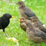 Früher Heckenschnitt gefährdet Vogelnachwuchs